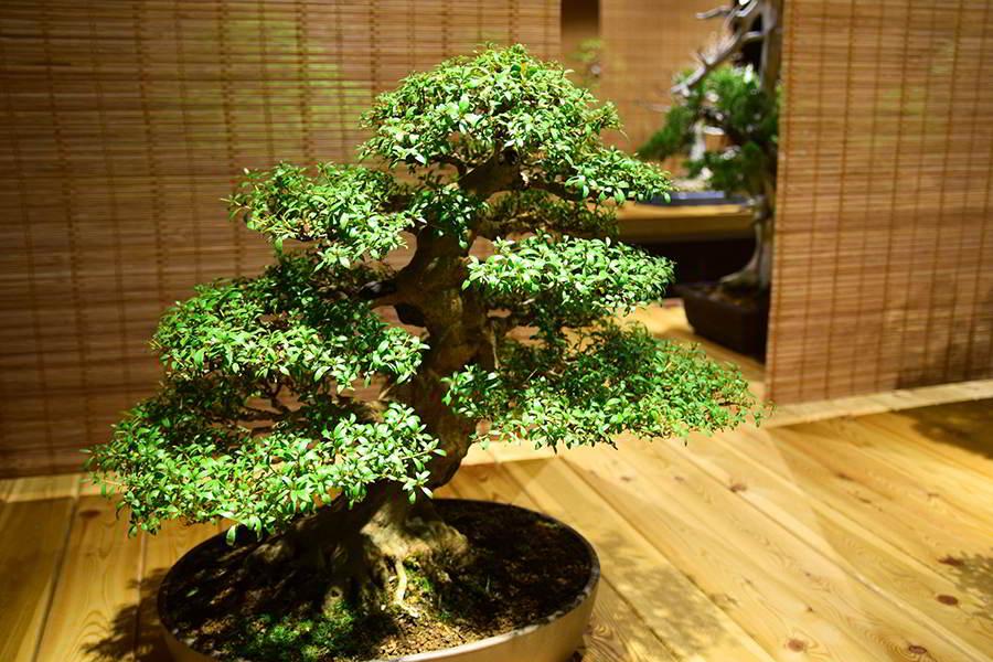 Como cuidar um bonsai dicas de jardinagem - Como cuidar bonsais ...