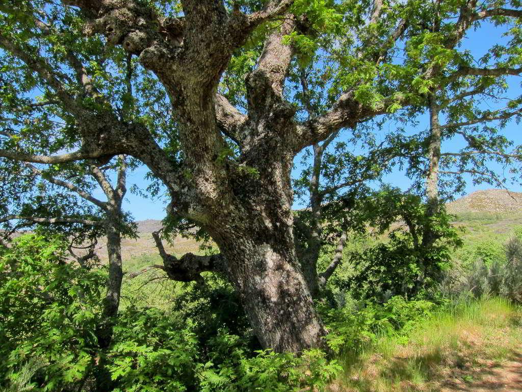 Carvalho-negral, árvore do Norte e Centro do país