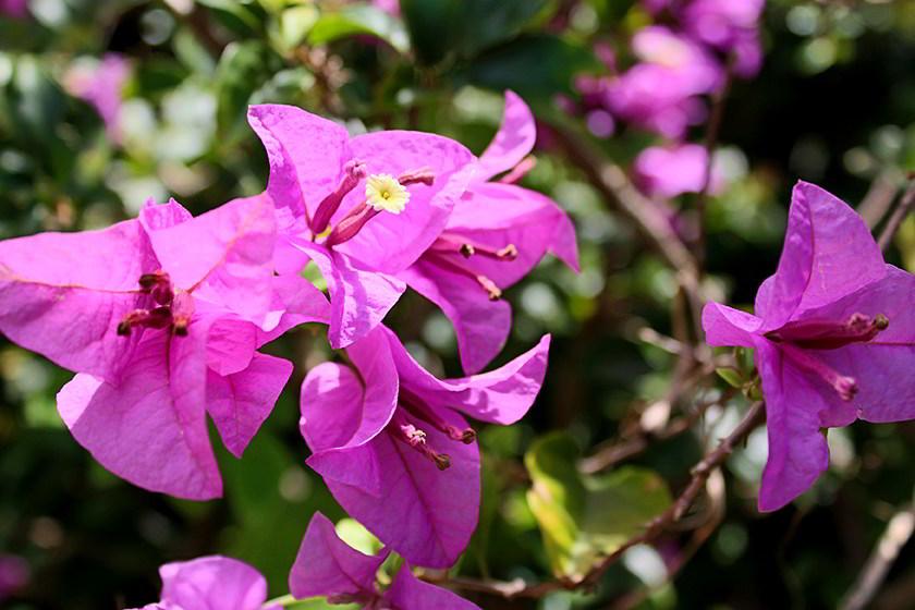 Flor da bougainvillea spectabilis