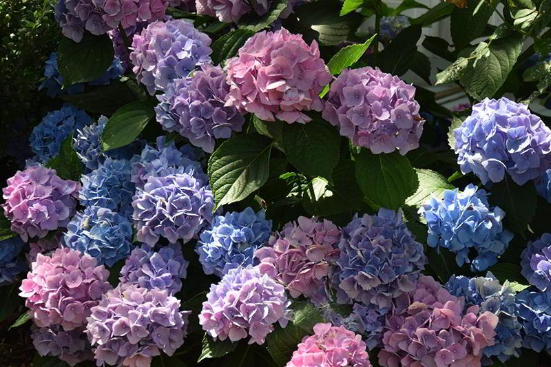 Como podar hort nsias dicas de jardinagem - Hortensias cuidados poda ...