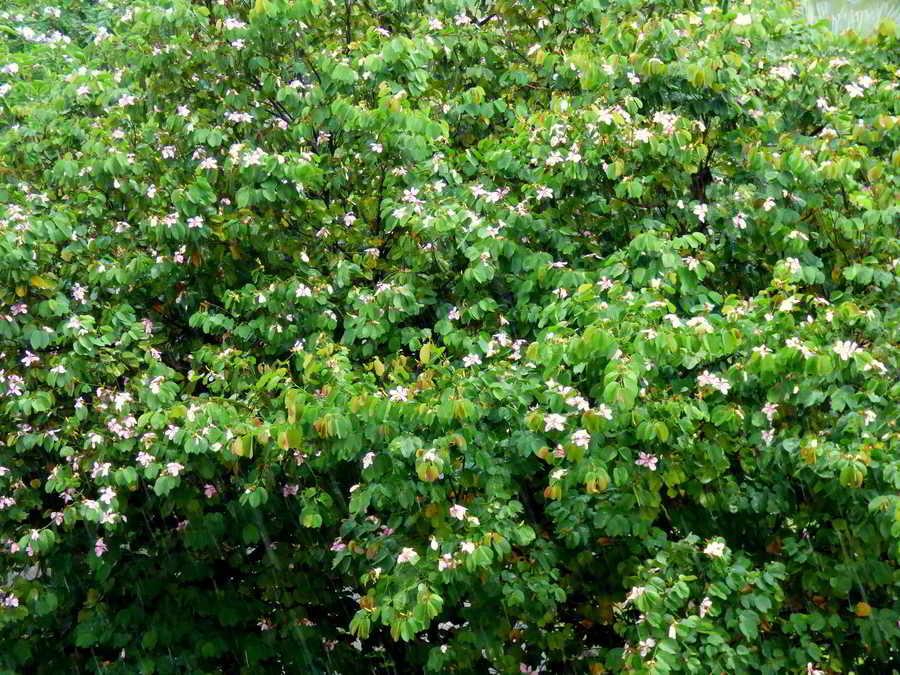 árvore-das-orquídeas