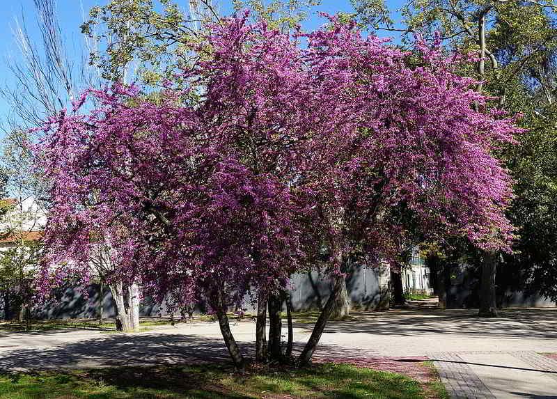 árvore de judas ou olaia
