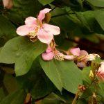 detalhe das flores da pata-de-vaca