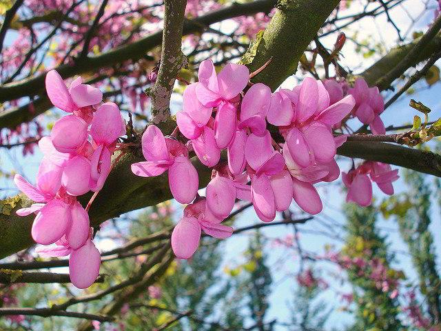 flor da olaia ou árvore de Judas