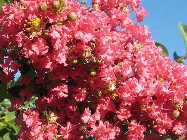 extremosa, suspiro, flor-de-merenda, escumilha, resedá ou árvore-de-júpiter