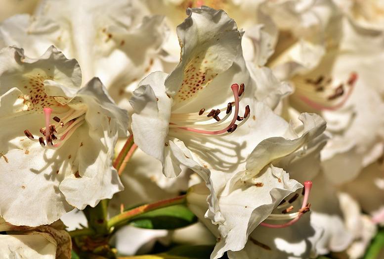 Flor do rododendro