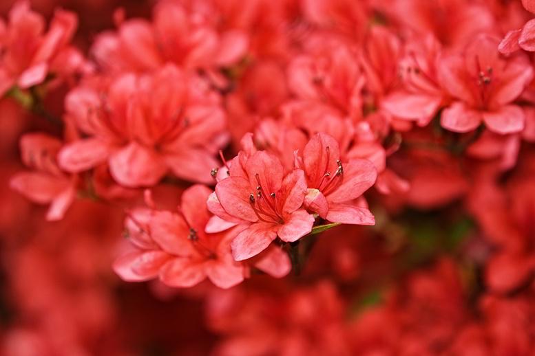 Rododendro azálea - flores