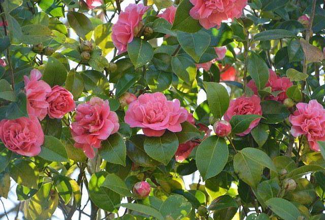 Se procura beleza e elegância no jardim, a camélia é o arbusto ...