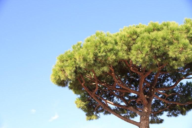 Pinheiro-manso, a árvore mediterrânica por excelência