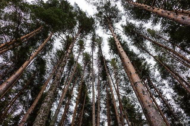 troncos de pinheiro-manso