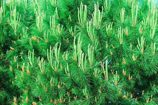 agulhas do pinheiro-manso