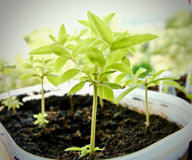 planta em vaso