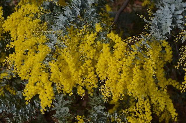 Flores da Acacia Baileyana