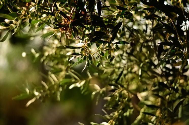 oliveira: azeitonas e folhas