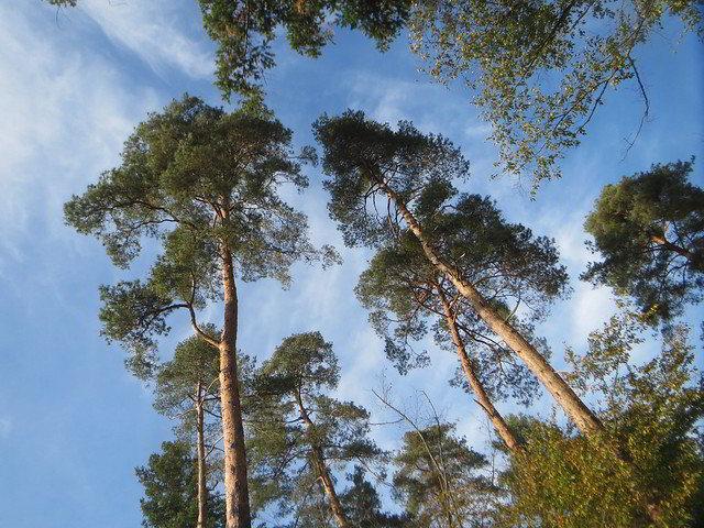 pinheiro-silvestre