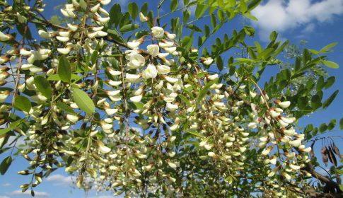 Robínia | ramo com flores
