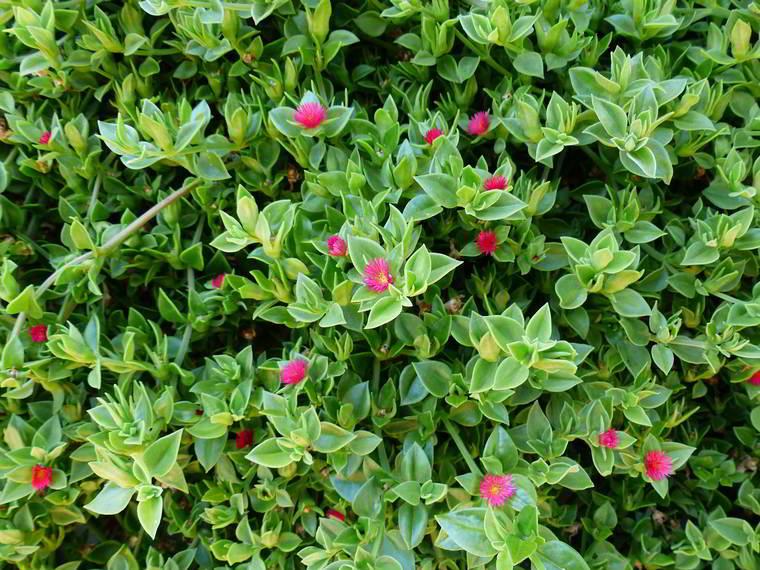 Apténia, uma planta rastreira de bela aparência