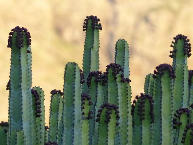 eufórbias-das-canárias
